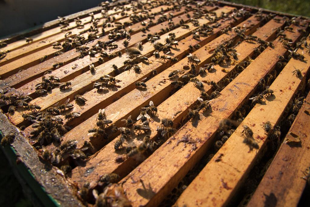 Bienenstock-Traum.